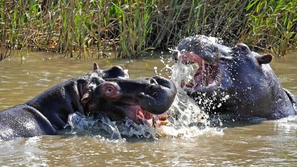 Hippo WSTL